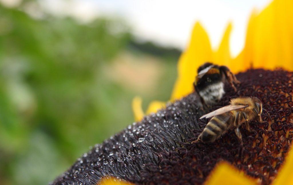 Girasole-Bienen