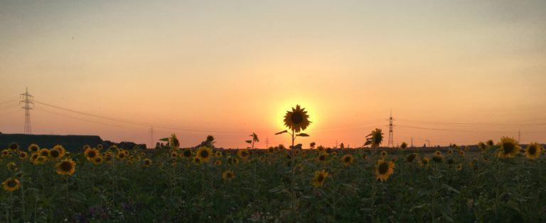 Sonnen-Sonneblume